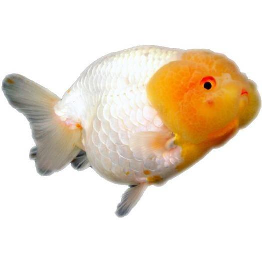 南通海安市 草金鱼活体冷水鱼淡水小型金鱼苗锦鲤练手鱼兰寿布里斯托观赏鱼