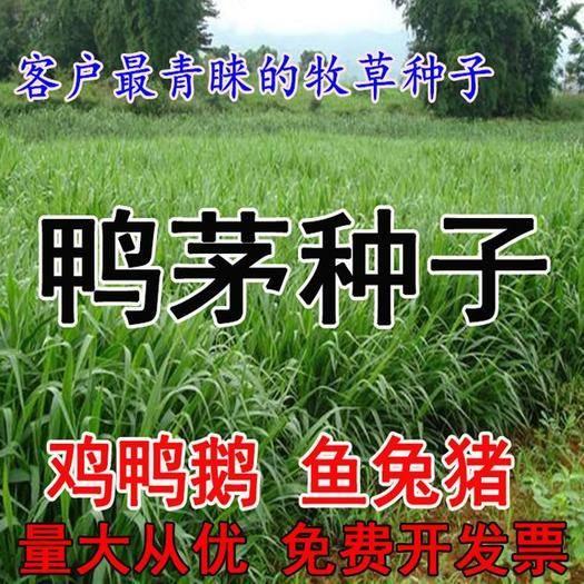 沭阳县 鸭茅种子 耐阴耐热耐寒果园草种 林间种草 牛羊猪兔牧草种子