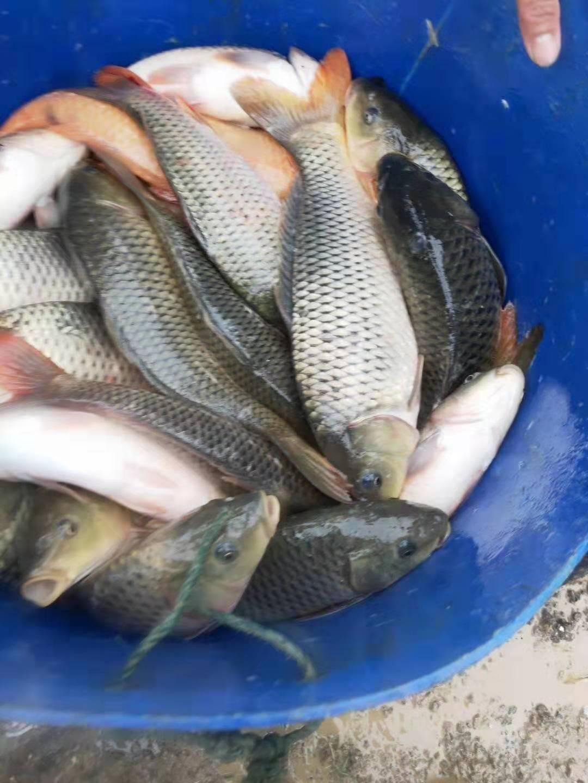 鲤鱼  杂交鲤鱼 提供技术指导 包运输消毒下塘