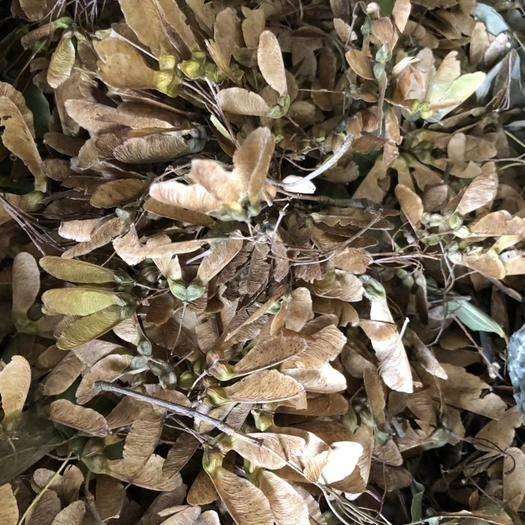 九江柴桑区 三角枫种子,五角枫种子批发
