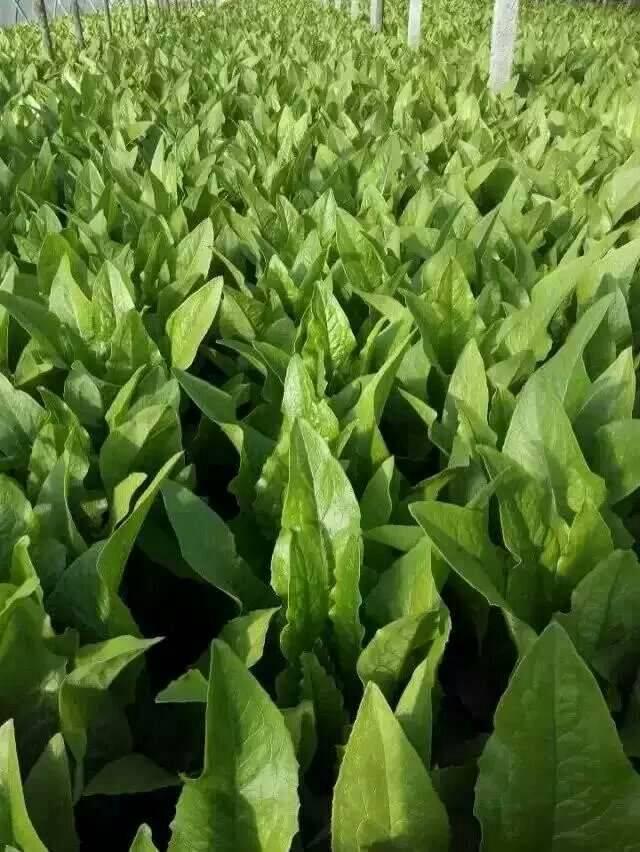 永年油麦菜一年四季供应