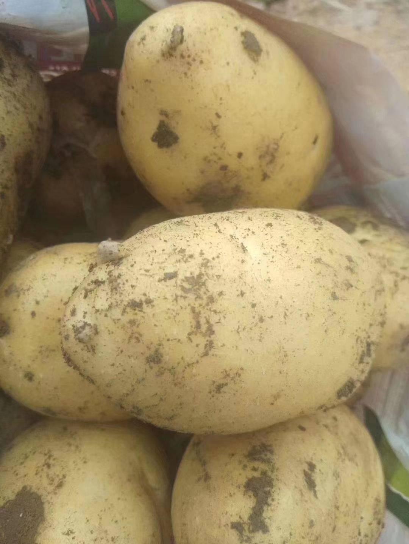 荷兰15号土豆 马铃薯