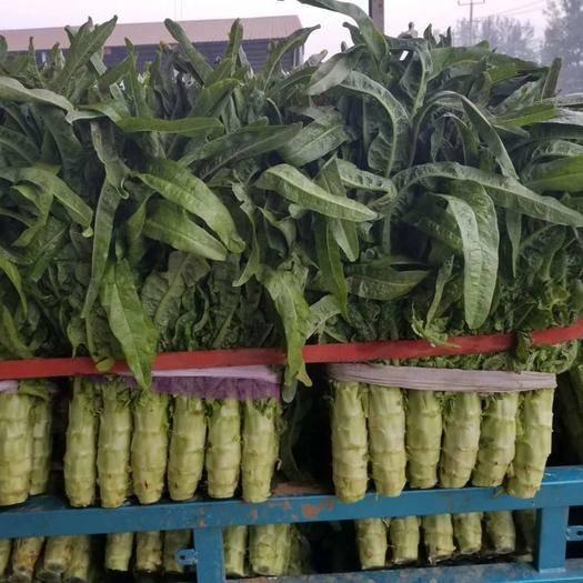 临沂兰陵县 精品红尖叶莴苣,无裂痕起苔空心