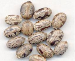 德宏瑞麗市 新品種蓖麻,自有規模種植,可長期穩定供應,具體價格詳聊