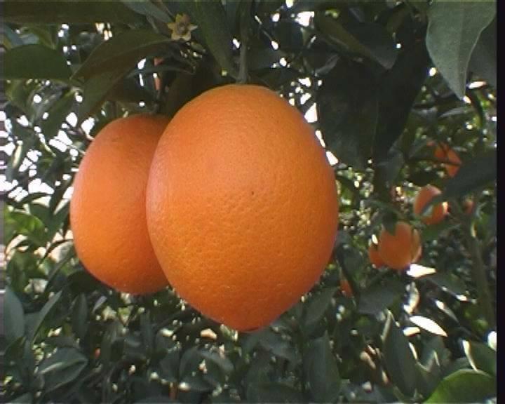 """赣南脐橙 只卖精品! """"橙""""心诚意,送您福气!"""
