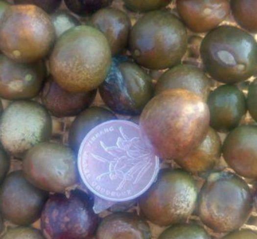 松原扶余市芡实种子 鲜芡实,也叫鸡头米
