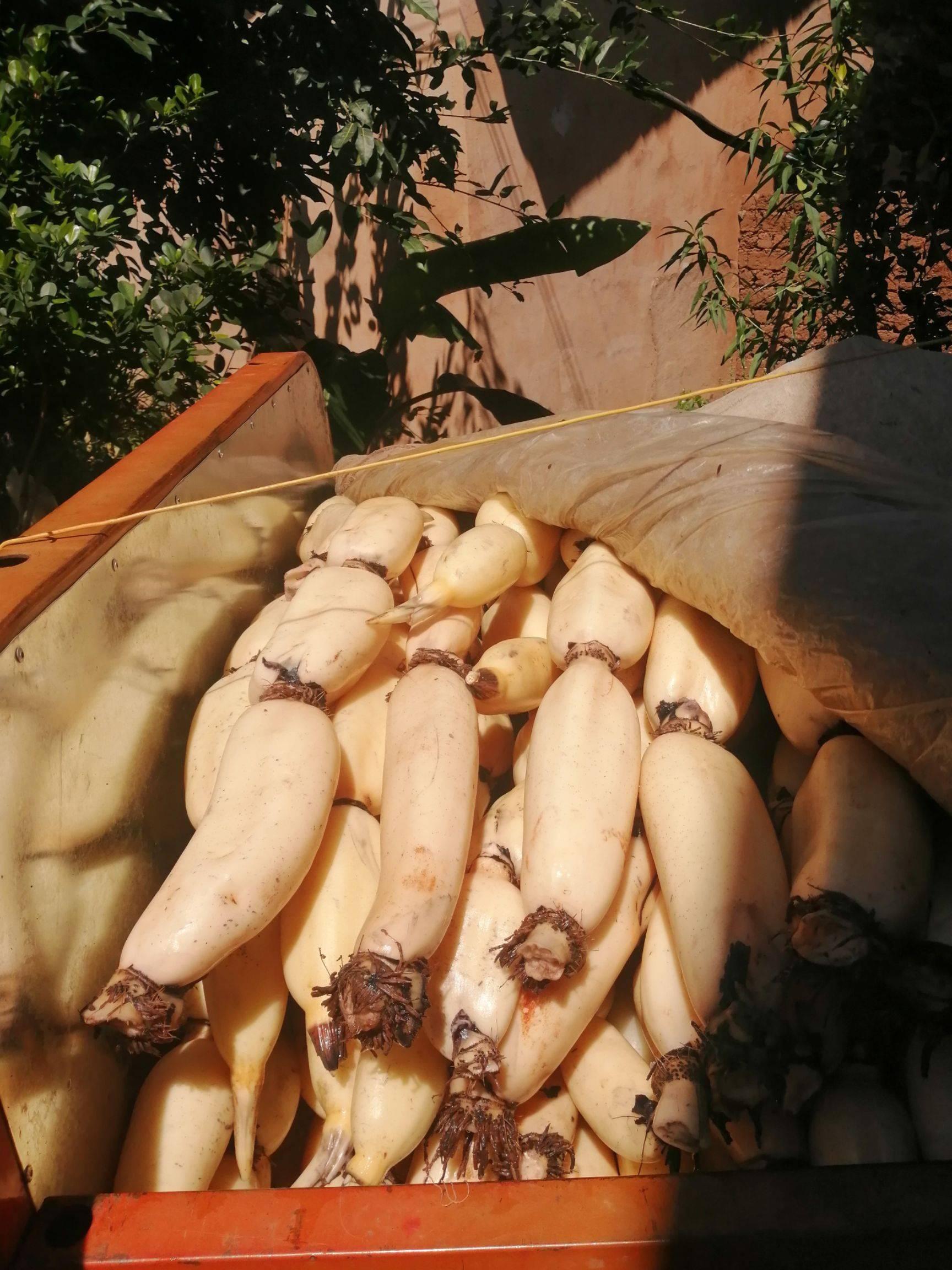 白莲藕 10~15cm 7-9cm