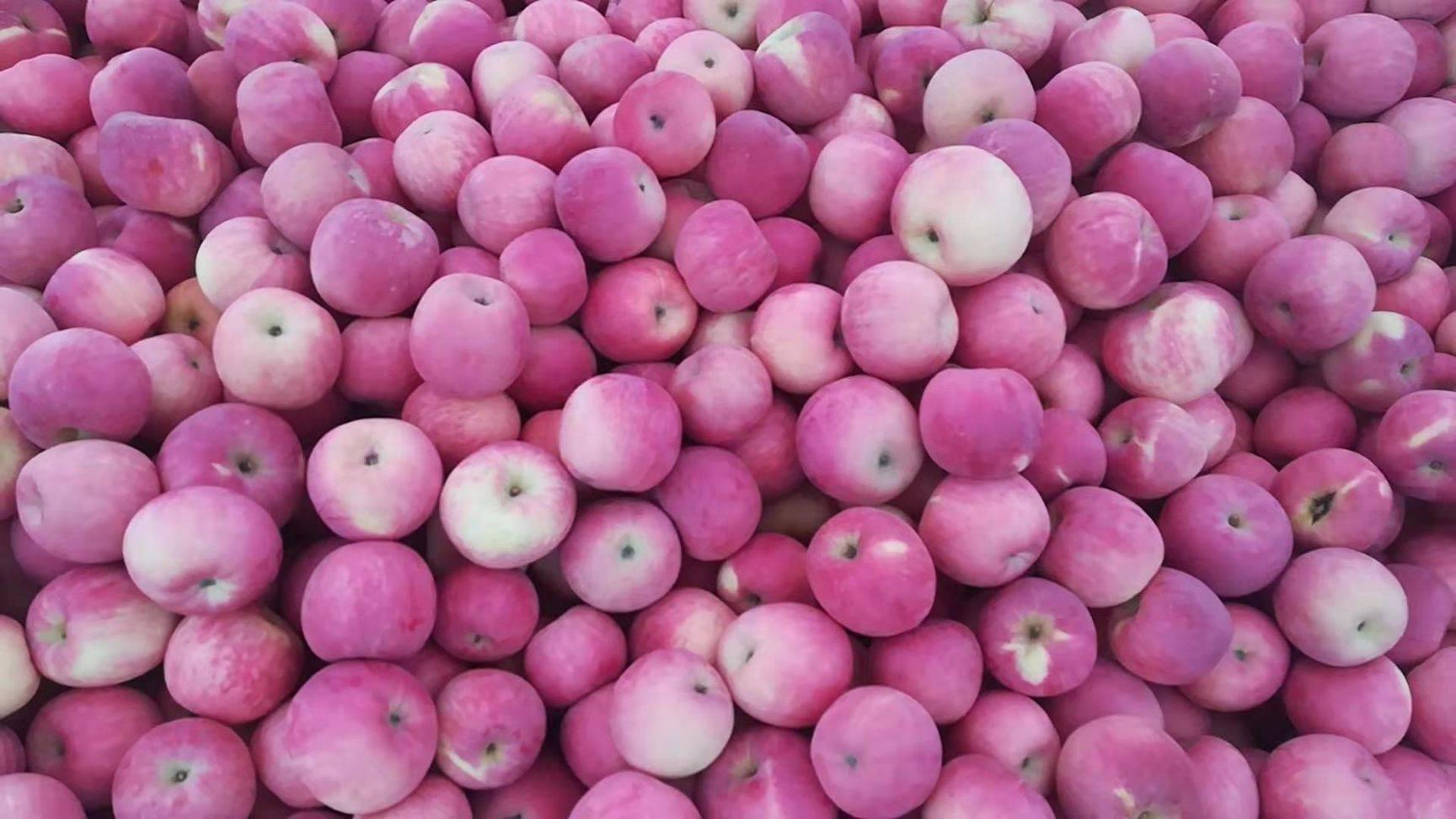 陕西正宗洛川苹果