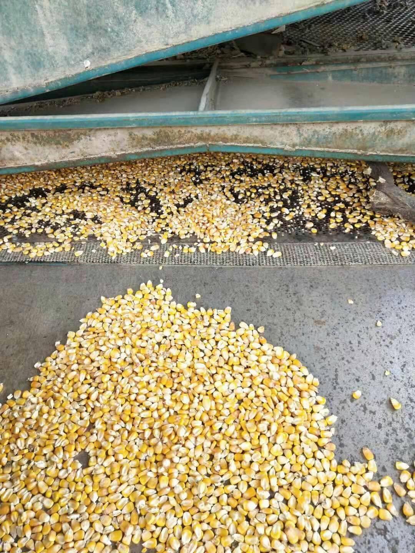 玉米干粮 大量出售优质玉米