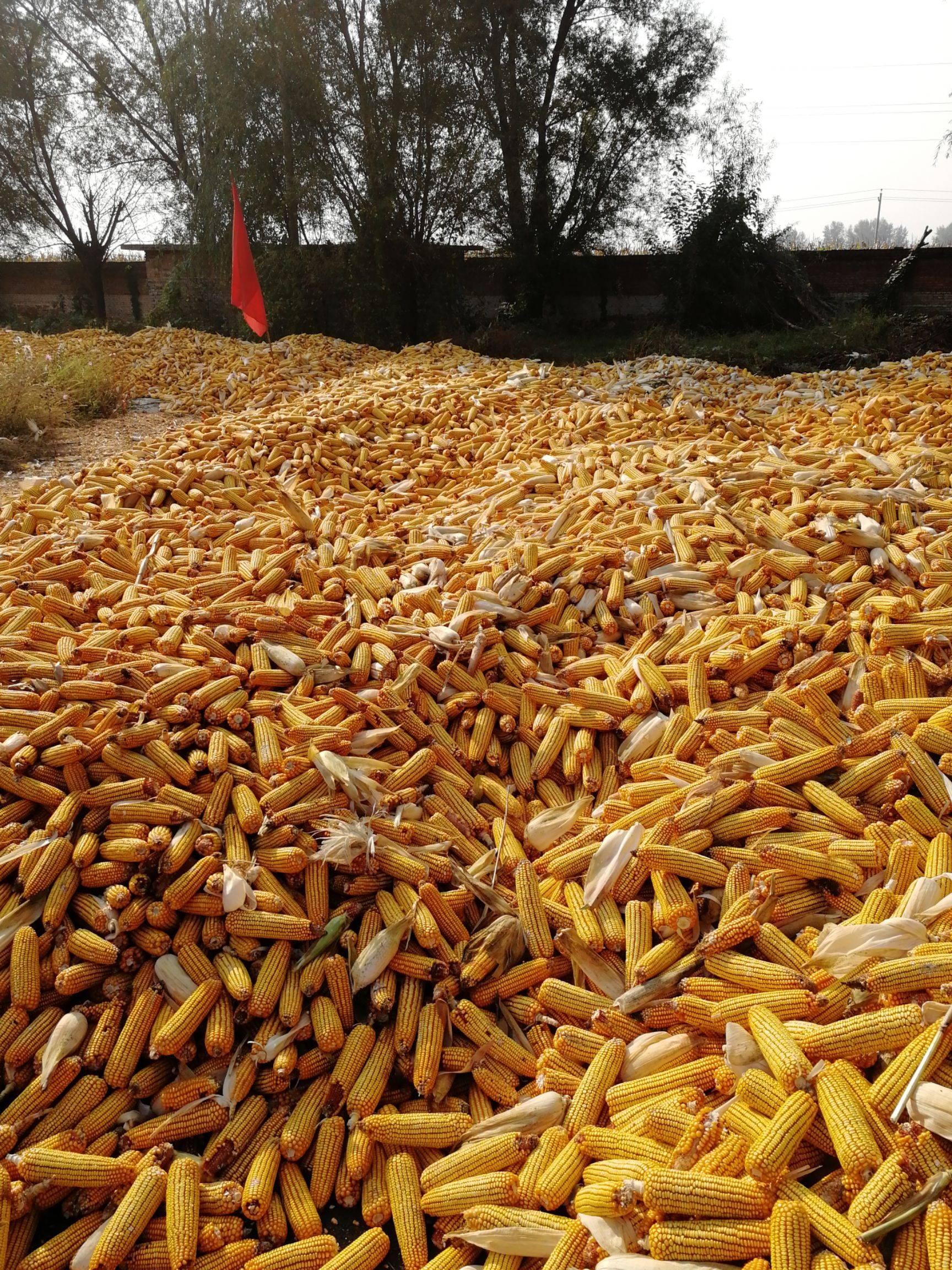 玉米干粮 毛货 水份17%-20%