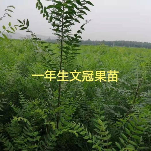赤峰翁牛特旗文冠果树苗 供30—60公分文冠