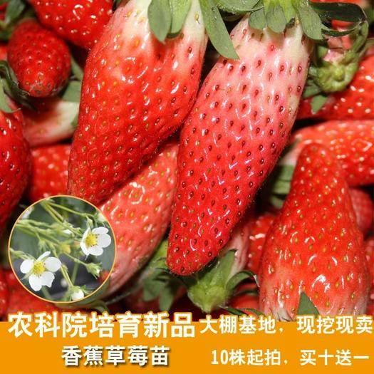 平邑县香蕉草莓苗 香蕉草莓 优化新品种 草莓易储存   耐运输  包邮