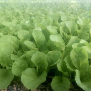 蔬菜病虫害防治 育苗种植我是专业的