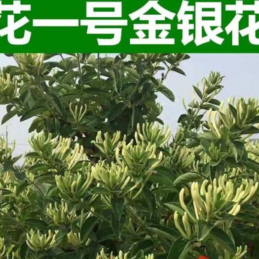 临沂平邑县北花一号 两年苗,产量高,半个月不采摘,不开花的新品种