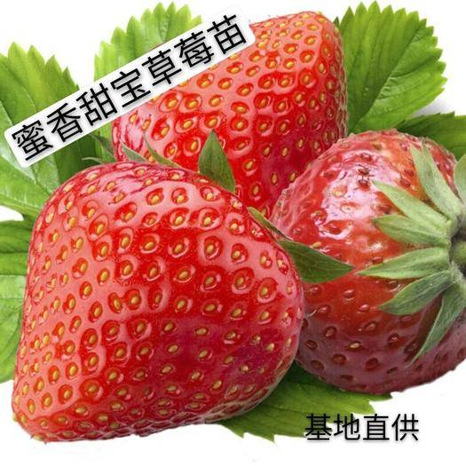 平邑县 蜜香甜宝草莓苗 自家基地培养 现挖现发  盆栽地栽