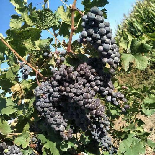 银川赤霞珠葡萄 0.4-0.6斤 5%以下 1次果