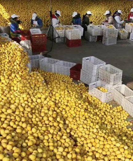 安岳縣 檸檬榨汁黃果九斤9.9包郵特價