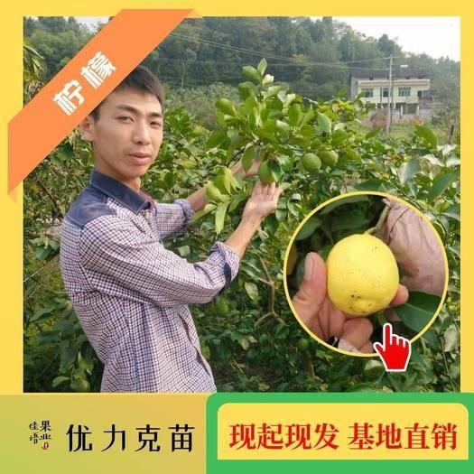 简阳市 柠檬苗批发 四川柠檬树苗嫁接柠檬苗 企业保障 技术跟踪服务