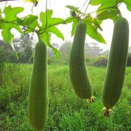 广西壮族自治区玉林市北流市青皮香丝瓜 农家纯天然洗碗瓜干货