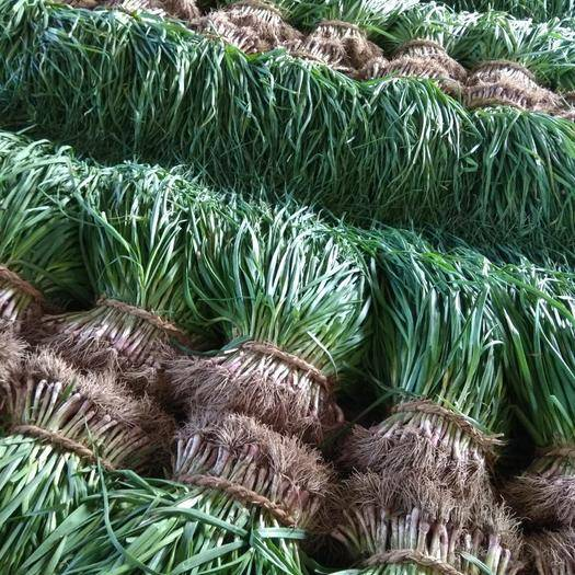 江苏省盐城市大丰区 精品红根蒜苗大量供应