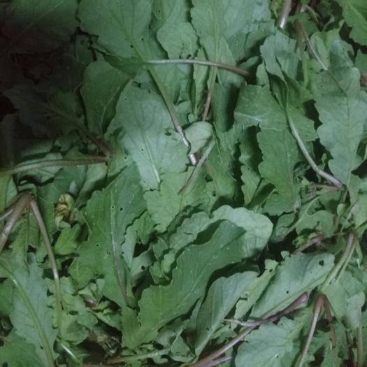 河南省驻马店市确山县萝卜菜 新鲜萝卜叶,不打农药,拍后采摘。