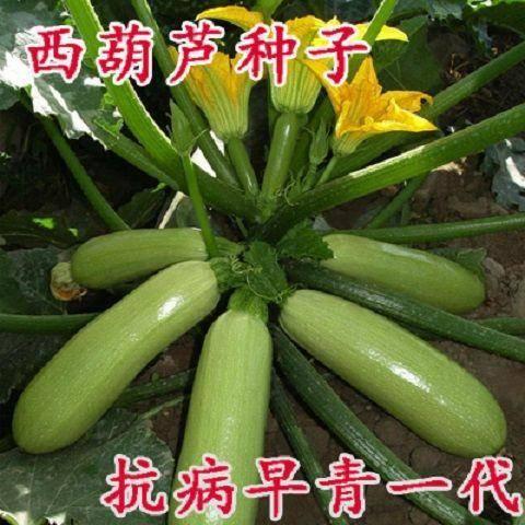 邵东县 西葫芦种子 耐寒耐热 翠绿色 春夏秋冬种植 四季蔬菜种子抗病