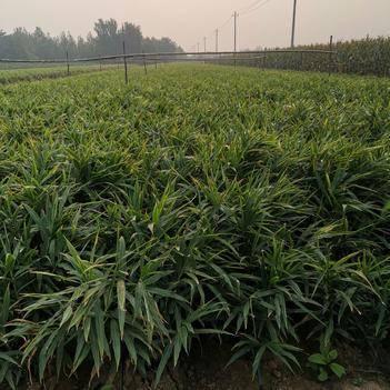 黄姜 大姜产地