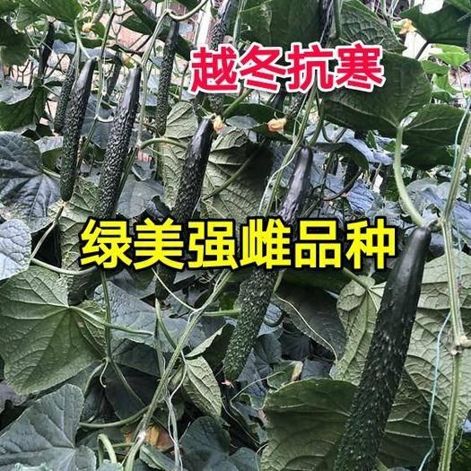 寿光市油亮密刺黄瓜种子 强雌,深绿油亮,短把,密刺
