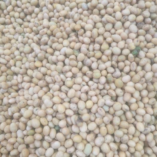太和县中黄13黄豆 生大豆 1等品