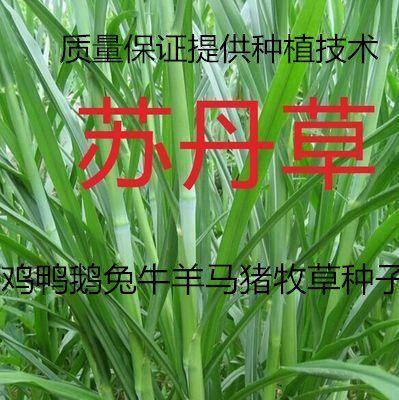 宿迁沭阳县 苏丹草种子杂交苏丹草草籽 牧草种子 四季养殖牛羊马猪牧草种