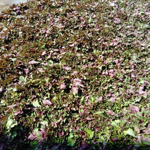湖南省长沙市长沙县紫苏叶 自家种植150亩。