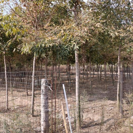 河南省许昌市长葛市疏林地 林地50亩出租可养鹅兔鸡羊,每亩60元