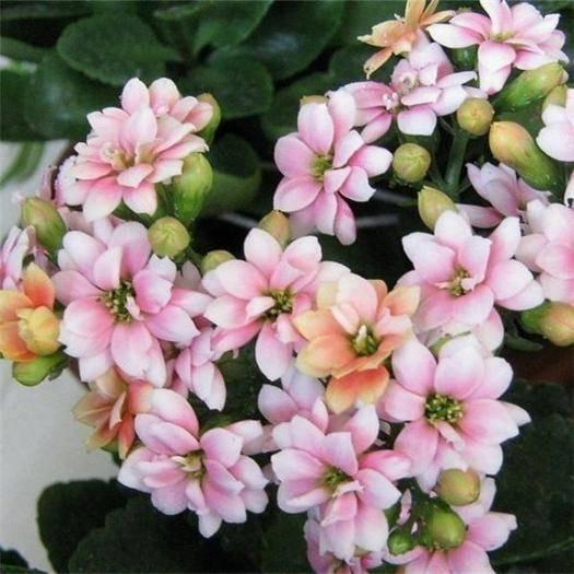 南通海安市长春花种子 重瓣长寿花种子长寿花苗鲜花种子花卉种子花种子桌面阳盆栽种子