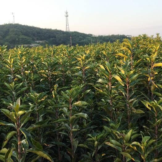 杭州青珊瑚 法國冬青。青山湖。綠化苗木。