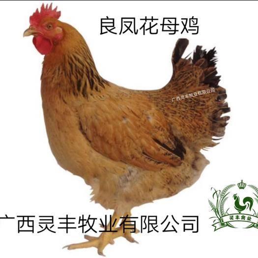 南宁西乡塘区 良凤花鸡苗  【热销榜】 《可提供经营许可证》买卖更放心