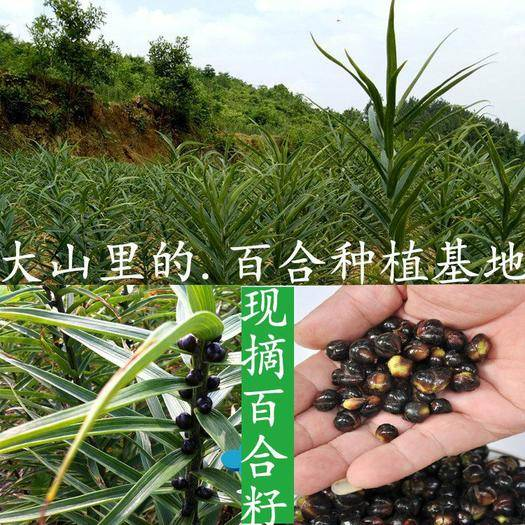 邵阳邵东县百合种子 百合种球 种子苗 百合母籽兰州食用百合苗室内四季可种宜兴百合