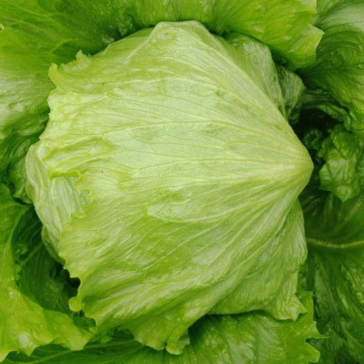 辽宁省辽阳市灯塔市 维生素、蛋白质以及氨基酸含量高的西生菜值得你选择