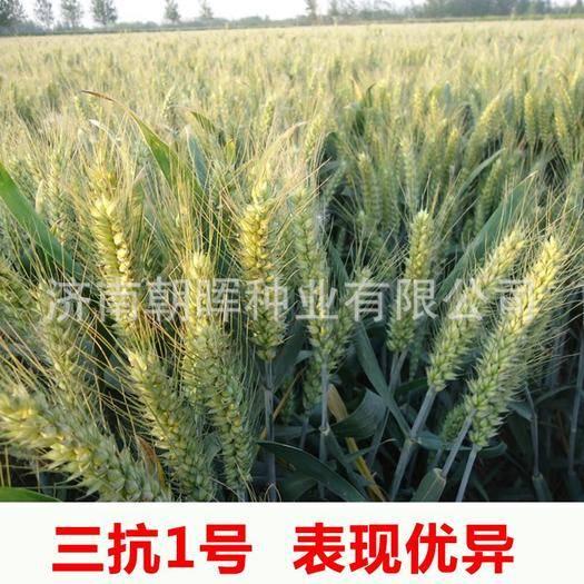 青島城陽區小麥種子 高產小麥品種三抗一號高產抗病抗倒伏穩產高產小麥良種三抗十號