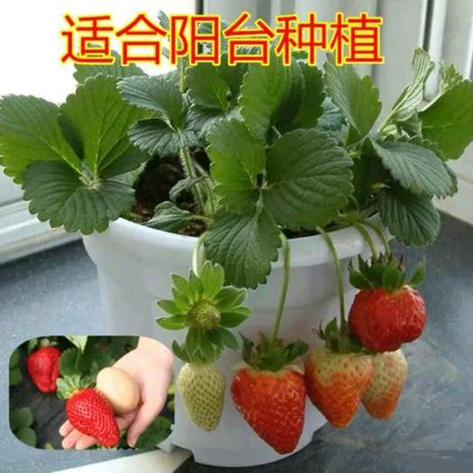 平邑縣 草莓盆栽苗,品種多,帶花,帶果,帶盆發貨,易成活,保證對版