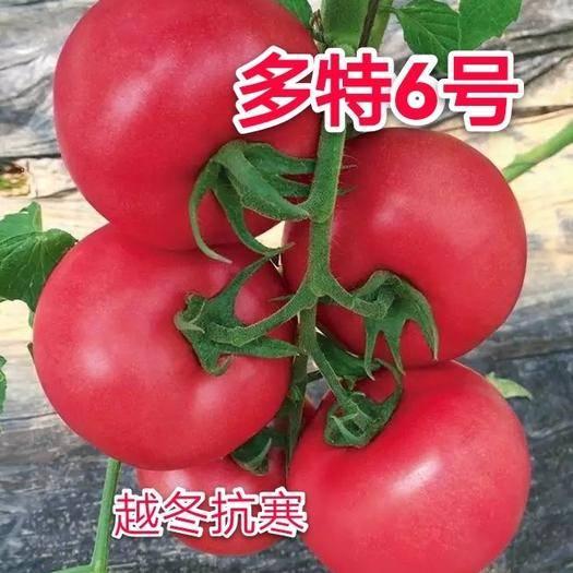 山东省潍坊市寿光市 越冬抗寒番茄种子,多特6号