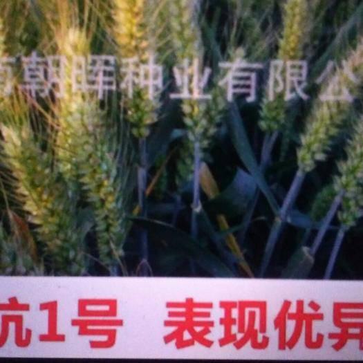 棗莊市中區 優質高產小麥種子
