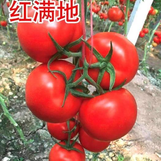 山东省潍坊市寿光市 红果番茄,石头果番茄种子,红满地