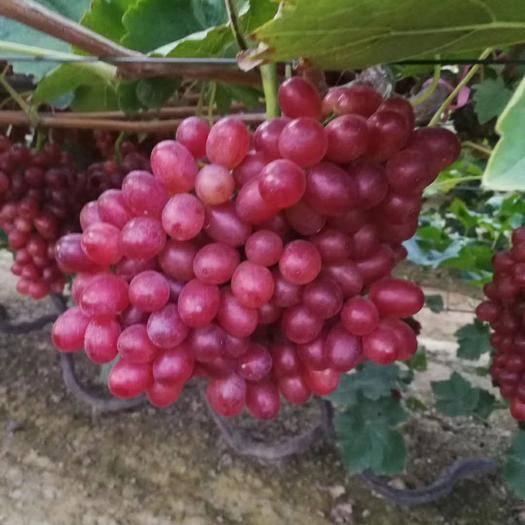 河北省衡水市饶阳县红提 2斤以上 5%以下 1次果