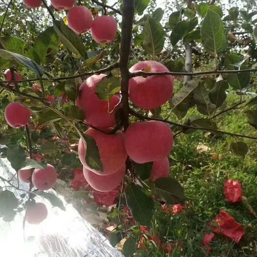 陕西省渭南市合阳县红富士苹果 75mm以上 条红 纸袋