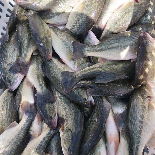 四川省自贡市富顺县 鲈鱼,质量保证,诚信经营