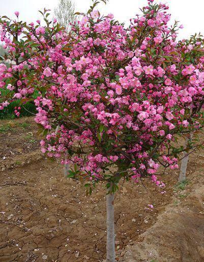 臨沂平邑縣 西府海棠 盆栽地栽都可以 南北方均可種植 基地直銷