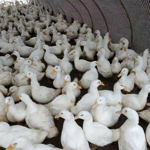 江西省宜春市上高县白番鸭 6-7斤 统货 全散养