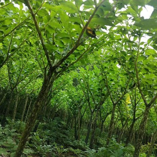 曲靖富源县花魔芋 购买种子可享受全国免费送货上门,全国免费提供技术辅导