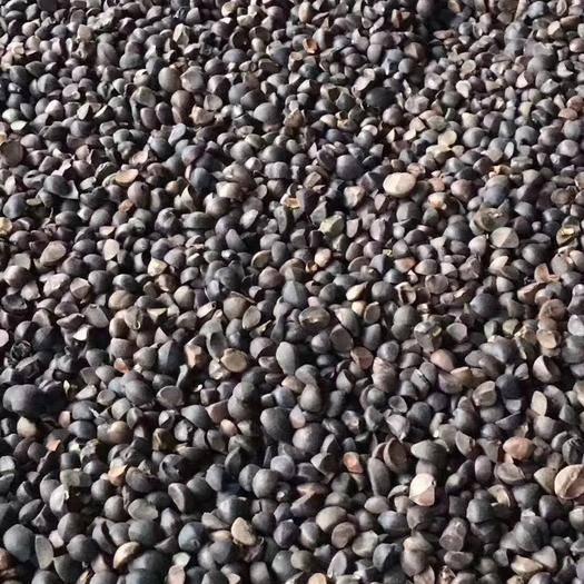 广西壮族自治区桂林市龙胜各族自治县 预售霜降油茶籽,自然落地,人工捡拾,出油率高17%到22%