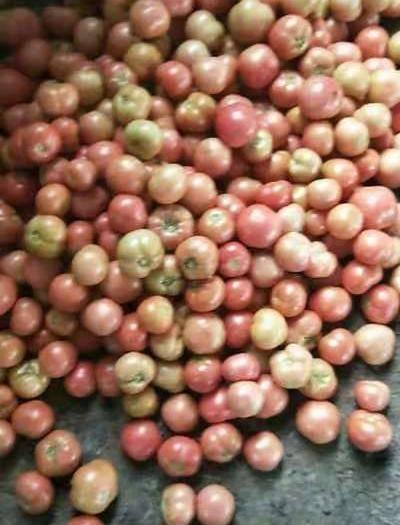 山东省聊城市东昌府区硬粉番茄 大棚果,第一茬有点小,但口感很好,主要是无公害